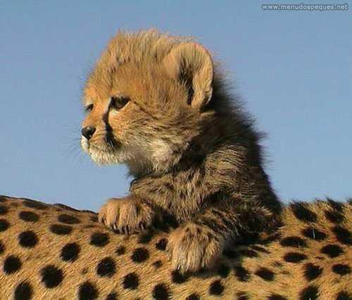 Cría de gepardo