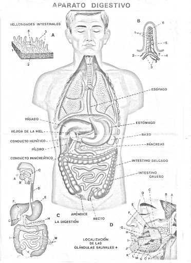El Aparato Digestivo - El Cuerpo Humano