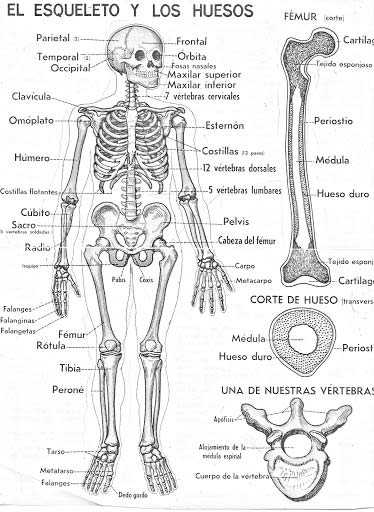 El Esqueleto y los Huesos - El Cuerpo Humano