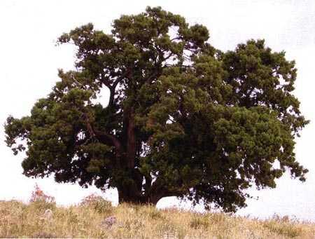 árbol caducos, árboles perennes