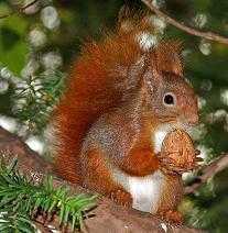 ardilla comiendo nuez en otoño